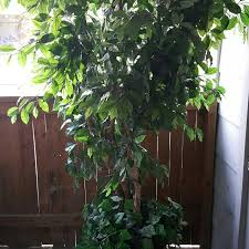 best 8ft silk ficus tree for sale in tulsa oklahoma for 2018