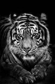 tiger black and white animals tigers and cat