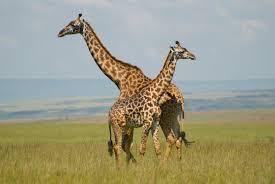 facts on giraffes