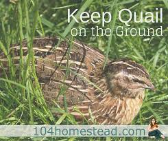 Backyard Quail Pens And Quail Housing by Keeping Quail On The Ground