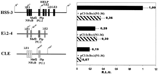 difference between kappa and lambda light chains regulation of human igλ light chain gene expression by nf κb the