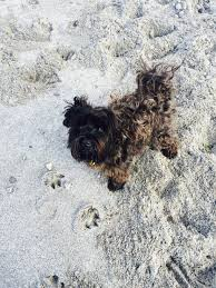 affenpinscher reviews dog walks contact us curious george u0026 me