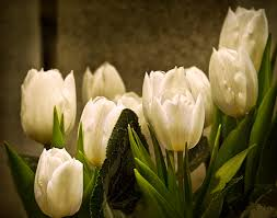 white tulips five white tulips hd wallpaper wallpaper flare