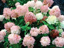 pink hydrangea pink hydrangea diy