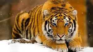 snowy tiger with blue eye fb cover cover fb