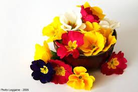 Jolie fleur de primevère
