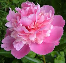 Peony Flowers Google Image Result For Http Files Myopera Com Frogboots Albums