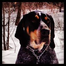 bluetick coonhound apparel 31 best bluetick u003c3 images on pinterest bluetick coonhound