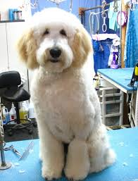 Dog Grooming Styles Haircuts The Friendly Groomer Show Grooms Vs Pet Grooms