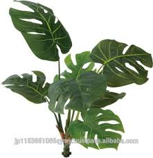 popular and newest types of ornamental plants images monstera lock