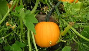 Growing Pumpkins On A Trellis How To Grow Pumpkins In Containers