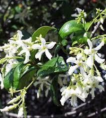 Fragrant Shade Plants - magnolia grandiflora u0027victoria u0027 victoria flowers and plants