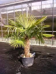 palmier du chili photos palmiers enviedejardin com