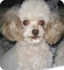 Seeking Teacup Dover Ma Poodle Or Tea Cup Meet Foobee A For Adoption