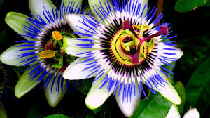 blue passion vine passiflora caerulea new tasty fruit youtube