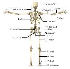 Human Anatomy Skeleton Diagram Human Skeleton Diagram Bone Names Human Body Skeleton Pic With