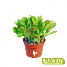 plantes d駱olluantes chambre plante d intérieur dépolluante succulent crassula