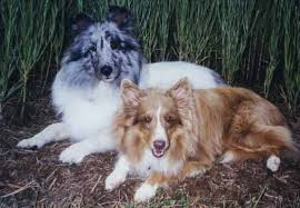 australian shepherd eye color genetics liver shetland sheepdog
