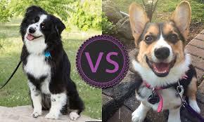 australian shepherd vs miniature american shepherd round 2 voting the face of woofa roo windsor star
