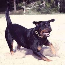 rottweiler diet and allergies petcarerx