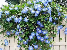 Blue Flower Vine - hundred blue morning glory blue morning glory morning glory