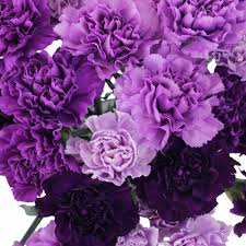purple carnations carnation flowers mixed