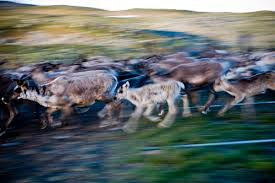 the reindeer herder laponia