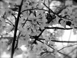 white cherry blossom black and white cherry blossoms by diane paulson