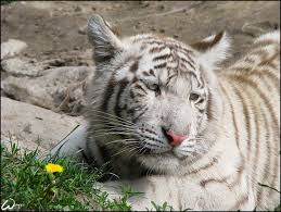 baby white tiger and a flower by woxys on deviantart