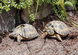 Tortoise Bedding Russian Tortoise Care Sheet