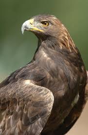 golden eagle eagle pinterest bird golden eagle and animal