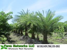 sylvester palm tree sale south florida sylvester palm south florida sylvester palm trees