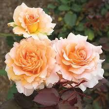 Fragrant Rose Plants - best 25 floribunda roses ideas on pinterest fragrant roses