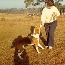afghan hound of america american foxhound history u0026 training temperament