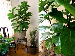 Fiddle Leaf Fig Tree Care by Fiddle Leaf Fig Easy On The Eyes Tricky On The Care