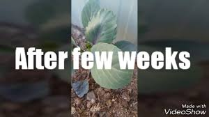 winter vegetable gardening 2017 youtube