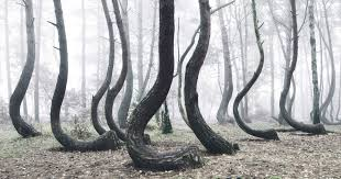 photos of the strange crooked forest in poland