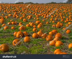 halloween pumpkins background halloween pumpkin patch field perfect background stock photo
