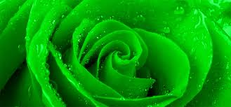 green roses green roses archives albemarle matters