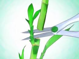 Decorative Stems For Vases 3 Ways To Grow Lucky Bamboo Wikihow