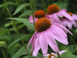 purple coneflower care gardening uses all you need to know