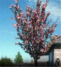 buy affordable purpleleaf sand cherry trees at our nursery