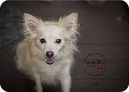 american eskimo dog ireland bella and foxxy adopted dog houston tx american eskimo dog