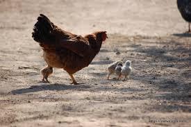 small chicken around mother hen mintpress news