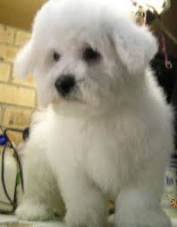 bichon frise dog breeders bichon frise breeders links and breed information on pups4sale com au