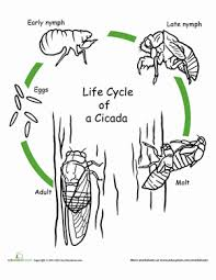 colour cycle cicada worksheet education