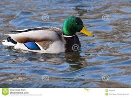 male mallard duck on water stock photos image 13021723