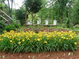 stella daylily beekeeper s some of our bee hives amongst stella d oro