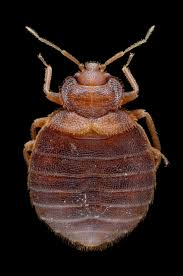 Chicago Bed Bug Experts Using Dna To Track The Spread Of Bedbugs Popular Science