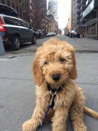 Do Cockapoo Dogs Shed A Lot by Wembley Thinks Walks Can Be Overwhelming Goldendoodle Animal